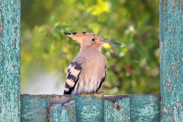 Hoopoe upupa epops assis sur une vieille clôture verte en bois