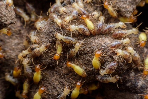 Hordes de termites construisant leur nid