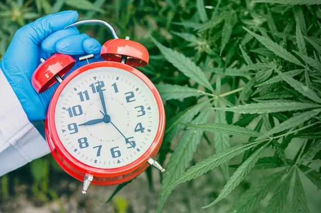 Horloge avec des feuilles de plantes de cannabis sativa ou de chanvre pour le compte à rebours jusqu'à la légalisation du concept à base de plantes médicinales.