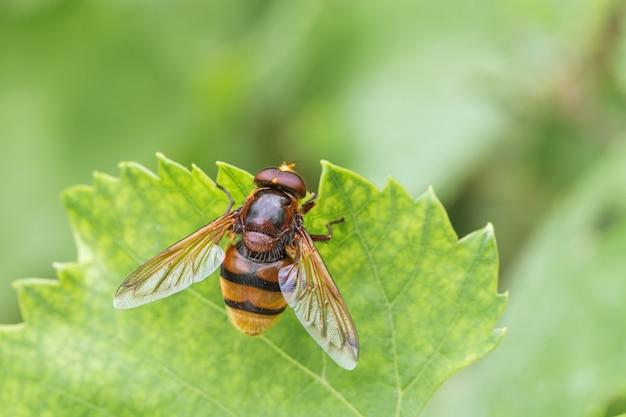 Hornet mimic hoverfly, volucella zonaria, un imitateur batesian, valle del anapo, sicile, italie