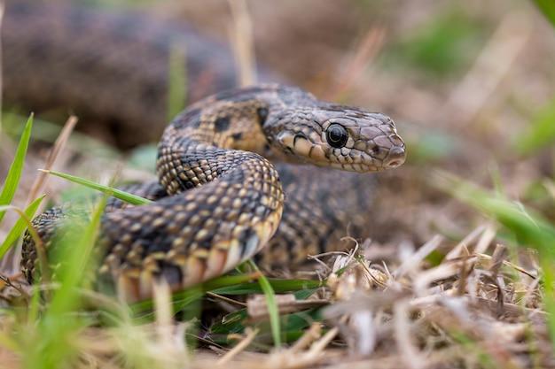 Horseshoe whip snake, hémorrhois hippocrepis portrait macro dans la nature.