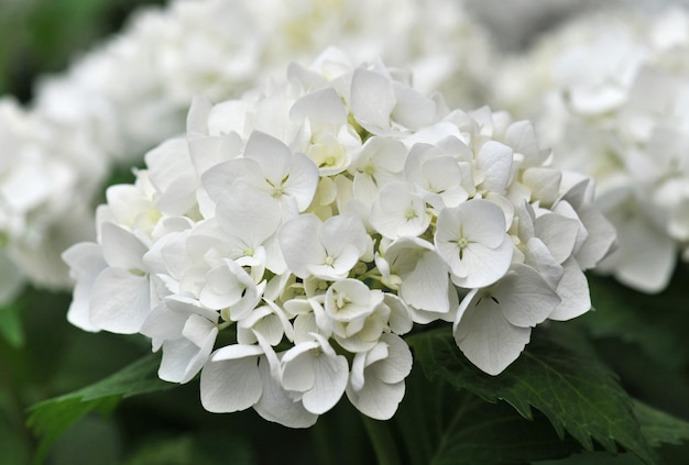Hortensia blanc (hortensia)