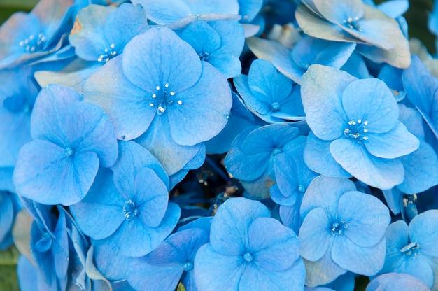 Hortensia bleu dans le jardin se bouchent