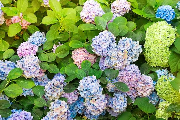 L'hortensia est des fleurs roses, bleues et violettes