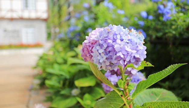 Hortensia en fleurs dans le jardin.