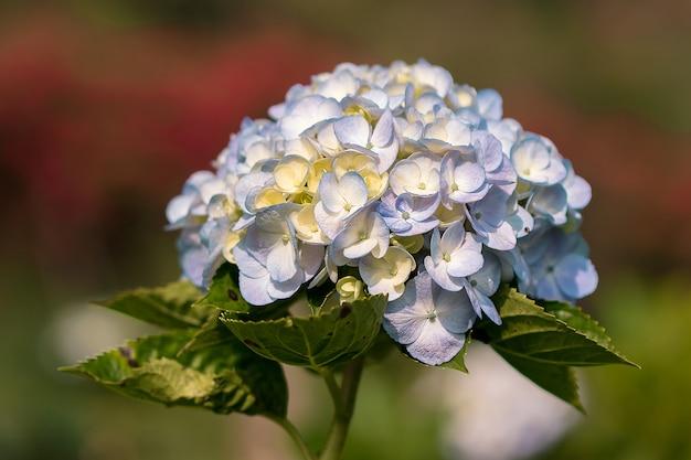 Hortensia, jaune, mélangé avec du pourpre, fleurit à merveille dans le jardin.