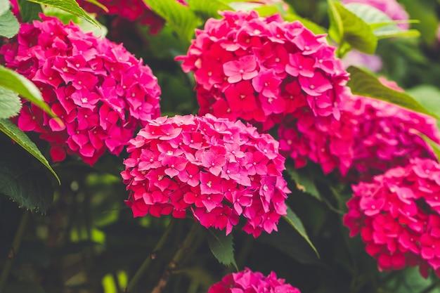 Hortensia rose en fleurs ou hortensia