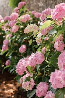 Hortensia rose sur fond vert par une journée d'été ensoleillée dans le jardin
