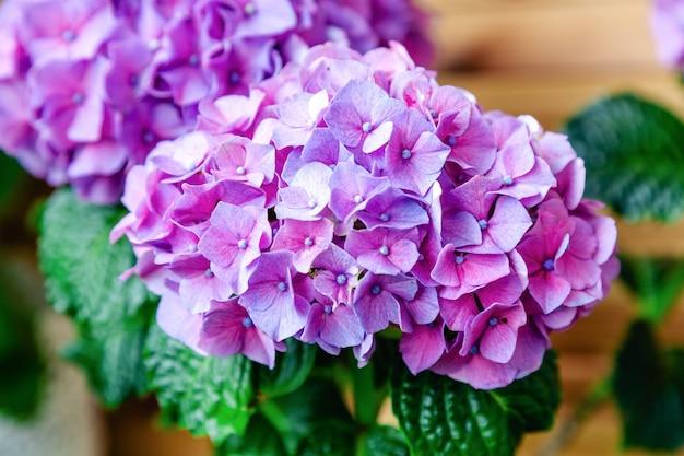 Hortensia violet sur fond de clôture en bois hortensia macrophylla violet hortensia flower bush