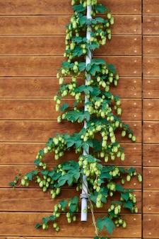 Houblon de bière sur un mur en bois