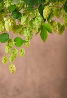 Houblon vert frais sur un fond en bois.