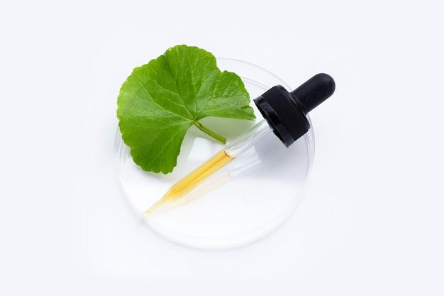 Huile essentielle aux feuilles fraîches de gotu kola dans des boîtes de pétri sur fond blanc.