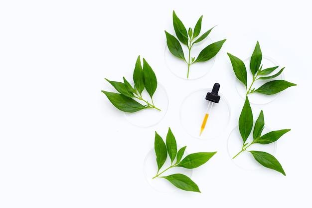 Huile essentielle aux feuilles vertes de kariyat ou d'andrographis paniculata dans des boîtes de pétri sur blanc