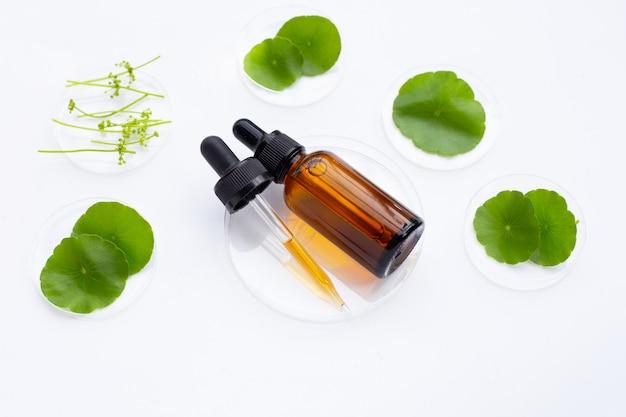 Huile essentielle avec des feuilles vertes fraîches de centella asiatica dans des boîtes de pétri sur fond blanc.