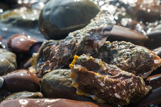 Huîtres fraîches fermées au bord de la mer, gros plan.