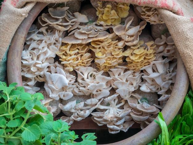 Huîtres indiennes ou l'huître pulmonaire poussent dans des sacs en plastique à la ferme de champignons