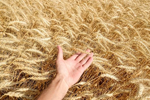 Human hand touch holding paille de blé sur le terrain récolte d'été journée ensoleillée