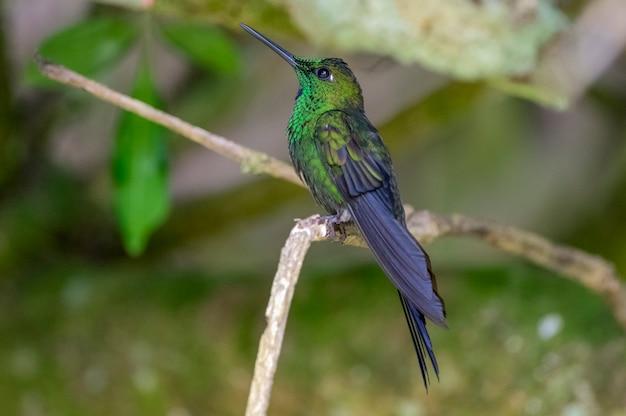 Hummingbird est une famille de petits oiseaux de l'ordre swift.