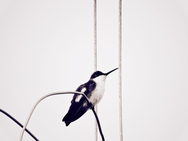 Hummingbird noir et blanc deuxième coup