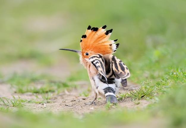 Une huppe à cadre inhabituel avec une couronne ouverte est assise sur l'herbe et hausse les épaules. vue du dos de l'oiseau