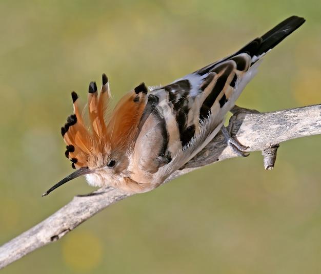 Une huppe avec couronne ouverte se trouve sur une branche dans une pose inhabituelle