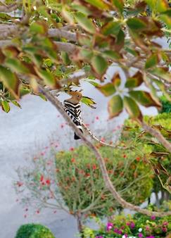 Huppe fasciée est assis sur une branche d'arbre.