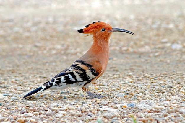 Huppe fasciée upupa epops beaux oiseaux de thaïlande