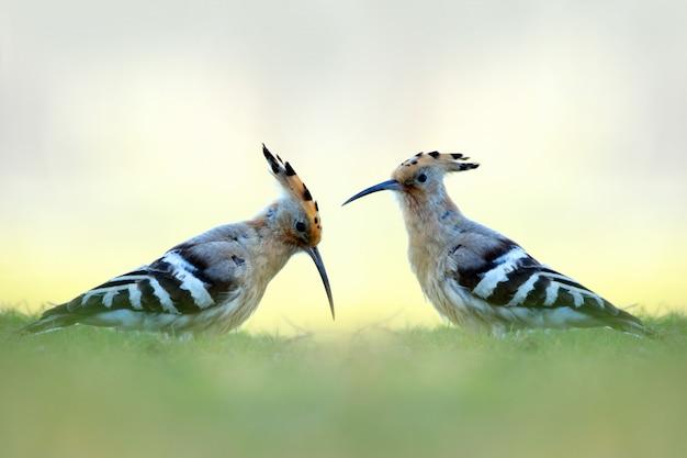 Les huppes sont répandues en europe, en asie et en afrique du nord, en afrique subsaharienne et à madagascar.la plupart des oiseaux d'europe et d'asie du nord migrent vers les tropiques en hiver.