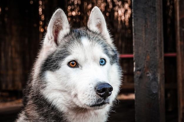Husky aux yeux colorés se bouchent