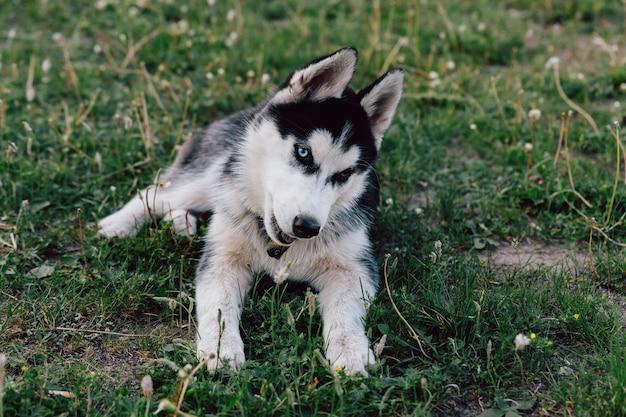 Husky chiot avec des yeux multicolores gambadant sur la pelouse avec des fleurs de trèfle blanc.