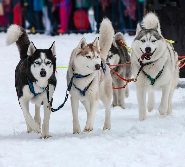 Husky sur la compétition avant le départ