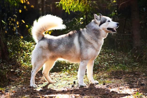 Husky ressemblant à un loup, pleine croissance sur le fond de la forêt. chien du nord canadien.