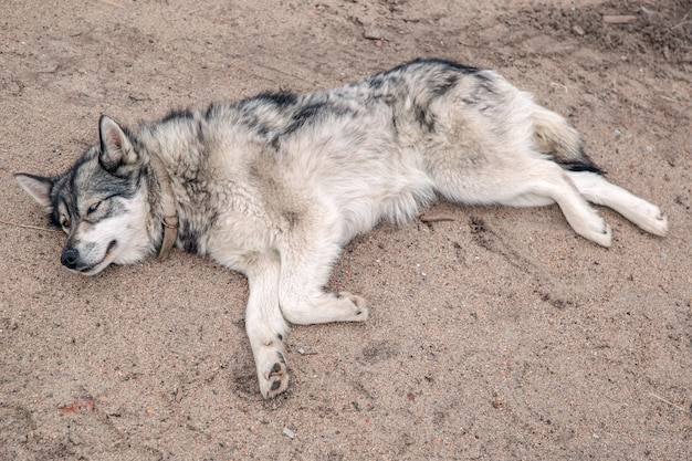 Husky reste sur la plage