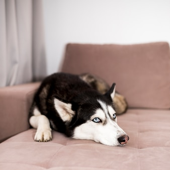 Husky se détendre sur un canapé