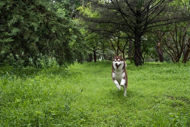 Husky sibérien dans la forêt
