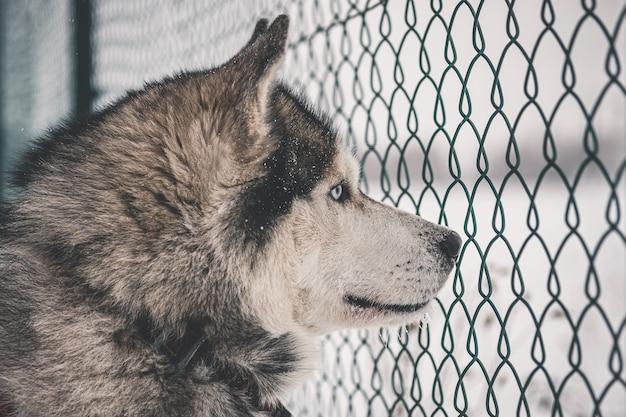 Husky sibérien derrière la clôture