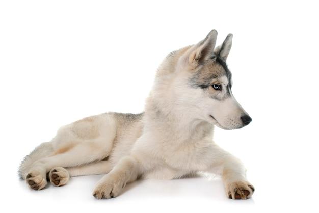 Husky sibérien gris