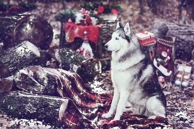 Husky sibérien mignon avec guirlande de noël sur le cou, assis sur une couverture rouge. décor de noël sur fond. neige