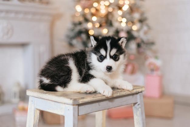 Husky sibérien sur un tabouret avec arbre de noël derrière