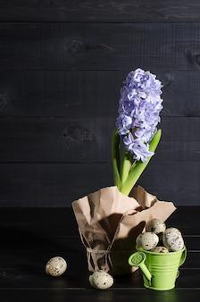 Hyacinthe pourpre et oeufs de caille dans le jardin arrosant un canon sur un fond noir en bois rustique