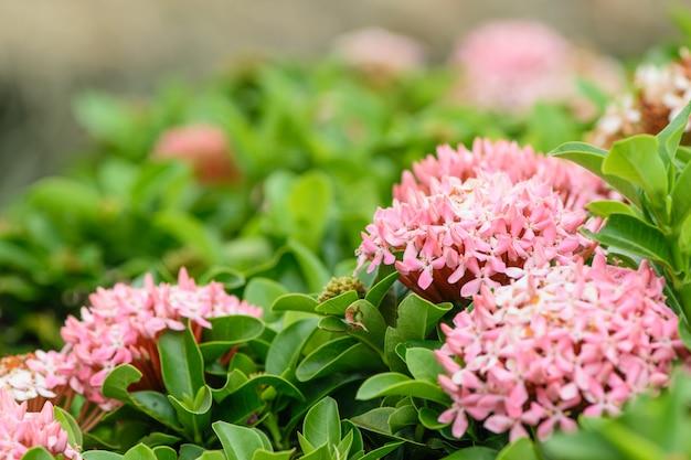 Hybride ixora rose dans le parc, petites fleurs roses.