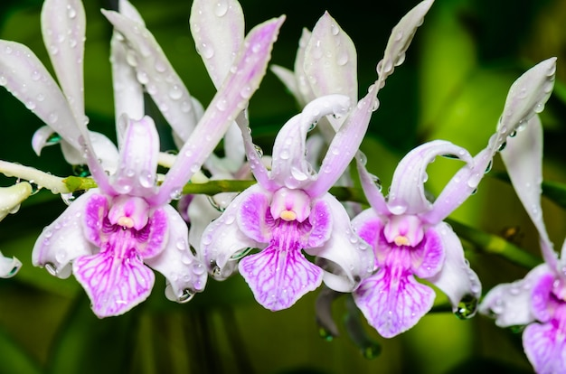 Les hybrides d'orchidées dendrobium sont blancs avec des rayures roses en thaïlande