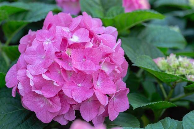 Hydenyia fleur dans le jardin.