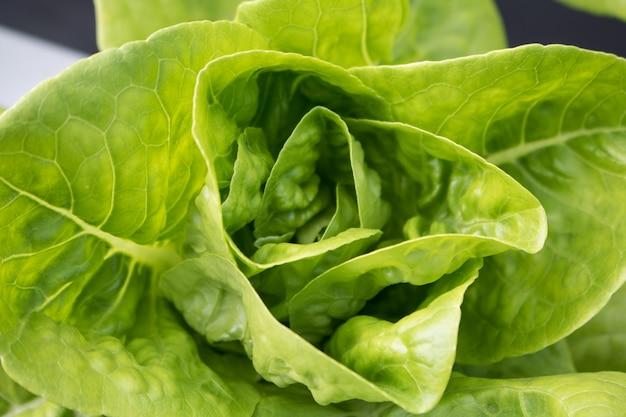 Hydroponique de légumes de laitue verte de close-up avec espace de copie, légumes hydroponiques