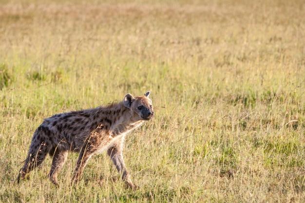 Hyène dans les plaines