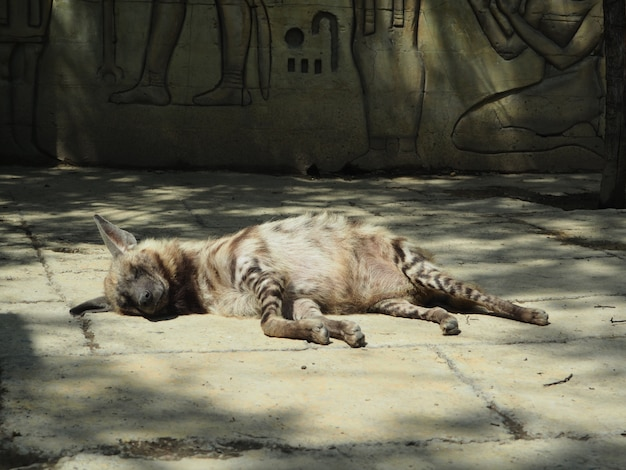 Hyène rayée couchée endormie contre les rochers