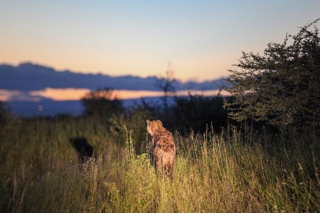 Une hyène regardant la caméra