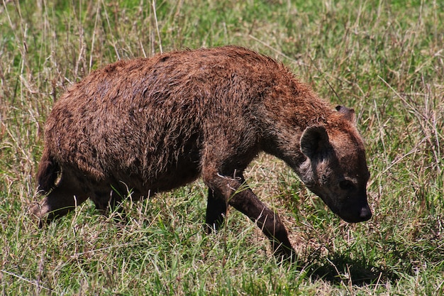 Hyène en safari au kenya et en tanzanie, en afrique