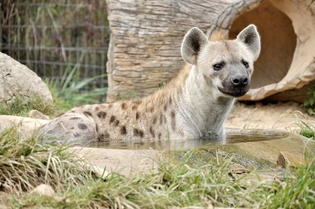L'hyène tachetée, également appelée hyène qui rit, est un mammifère carnivore.