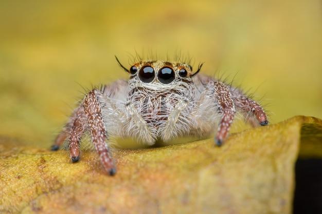 Hyllus femelle, araignée sauteuse
